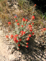 Indian_s_Paintbrush