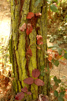Moss_and_poison_oak