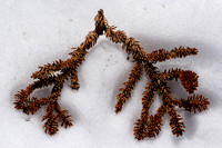 Branch in snow_0080