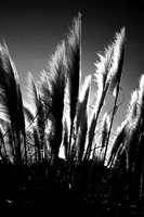 Brush Grass BW_0671