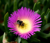 Bee_in_Purple_and_Yellow_Flower