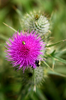 Thistle_ladybug_and_bee