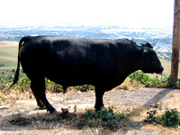 A big freaking cow