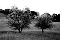 Two trees in a field 9882