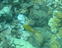 Yellow_angel_fish